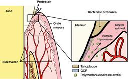 proteasen sijpelen naar GCV en speeksel