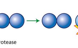 protease-substraatinteractie