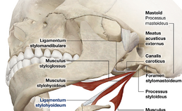 locatie ligamentum stylohyoideum
