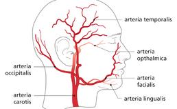 arteria carotis communis met aftakkingen in het hoofd-halsgebied