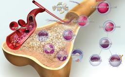 Ontwikkeling van verschillende bloedcellen