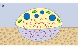 Apoptose van osteoclast tot bisfosfonaat