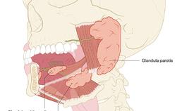 Anatomische ligging speekselklieren