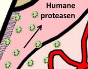Parodontitis en proteasen? Geen uitgemaakte zaak