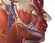 Interactief 3-dimensionaal model van het lichaam van de mens